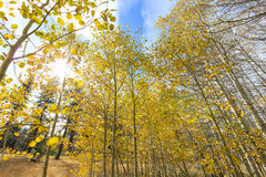 Aspen near Fallen Leaf Lake Royalty Free Stock Photo