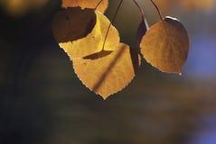 Aspen Orange Fotografering för Bildbyråer