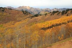 Aspen panoramic view in the Wasatch Mountains. Stock Image