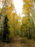 Aspen Path. Leaves changing color on Aspen trees in Lime Creek, Colorado Royalty Free Stock Photography