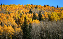 Aspen, pin et sapin Photos stock