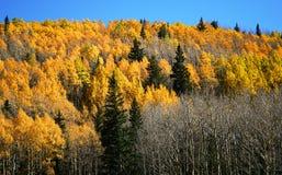 Aspen, Pine and Fir Stock Photos