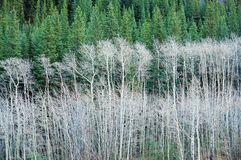 Aspen and pine forest Royalty Free Stock Image