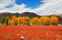 Aspen and pine forests. China stock photos