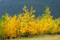 Aspen and pine forests. Colorful autumn view of aspen and pine forests in kananaskis country, alberta, canada Stock Photo