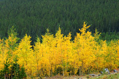 Aspen and pine forests. Colorful autumn view of aspen and pine forests in kananaskis country, alberta, canada Stock Photos