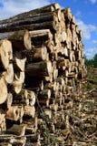 Aspen (Populus tremuloides) on Summer Log Landing Stock Photos