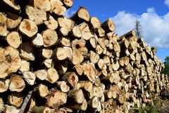 Aspen (Populus Tremuloides) on Summer Log Landing Royalty Free Stock Photography