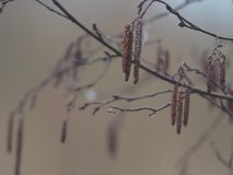 Aspen in primavera fotografia stock