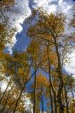 Aspen que alcanza al cielo en Wyoming Fotos de archivo