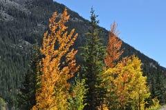 Aspen rétro-éclairée Image stock
