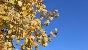 Aspen ramifica sacudiendo del viento contra del cielo azul almacen de metraje de vídeo