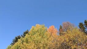 Aspen ramifica sacudiendo del viento contra del cielo azul almacen de video