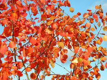 Aspen red leaves Royalty Free Stock Photos