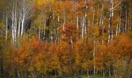 Aspen rojo en Wyoming Fotos de archivo