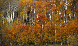 Aspen rouge au Wyoming Photos stock