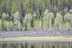 Aspen, sagebrush, and spruce with water reflection Royalty Free Stock Image