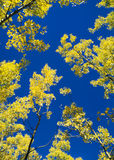 Aspen Sky. Golden fall trees against deep blue sky Royalty Free Stock Photography