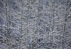 Aspen And Snow Nature Abstract Stock Image