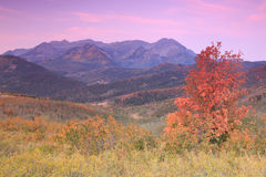 Aspen splendor with red fall leaves. Stock Photo