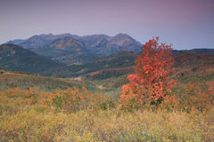 Aspen splendor with red fall leaves. Royalty Free Stock Images