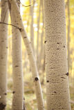 Aspen Stand. Selective focus of an aspen bole during the Colorado Autumn Royalty Free Stock Images