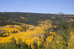 Aspen Stand vibrant Photo stock