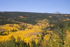 Aspen Stand vibrante Foto de archivo