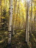 Aspen Stems Stock Photo