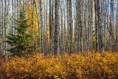 Aspen Stems en colores verdes y amarillos del otoño - fotos de archivo libres de regalías