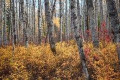 Aspen Stems en otoño imagenes de archivo