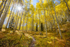 Aspen Sunburst Foto de Stock Royalty Free
