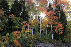 Aspen sunburst in the Utah mountains Stock Photography