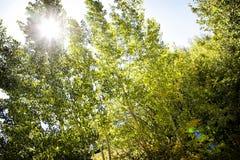 Aspen Sunlight dans Rocky Mountains photos stock