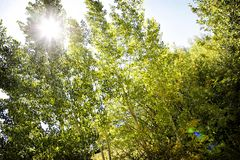 Aspen Sunlight in Rocky Mountains stock foto's