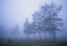 Aspen in Thick Fog. A line of aspen trees in a meadow shrouded in thick fog Stock Photography