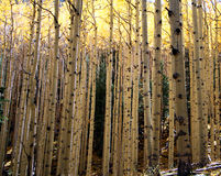 Aspen Thicket. An aspen thicket topped by a golden canopy in autumn Royalty Free Stock Photography
