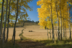 Aspen Trail. A long trail leads through quaking aspens to a distant ridge Stock Photography