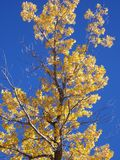 Aspen tree. Golden leaves on an aspen tree agains royal blue sky stock photo