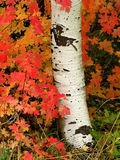 Aspen Tree. Stump with red maple leaves all around Stock Photos