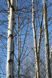 Aspen tree. S background in the winter against a blue sky Stock Images