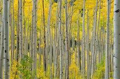 Aspen tree in Aspen. Picture of a Aspen forest near Aspen mountain in Colorado. Fall 2011 royalty free stock photo