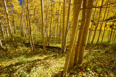 Aspen tree in autumn Royalty Free Stock Image