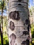 Aspen Tree Bark Foto de archivo