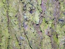Aspen Tree Bark Fotos de archivo