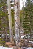Aspen Tree Bark Close acima na mola adiantada imagens de stock