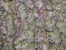 Aspen tree bark Royalty Free Stock Photography