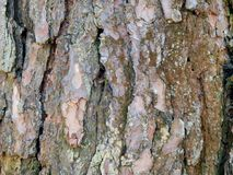 Aspen tree bark Royalty Free Stock Image