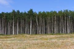 Aspen Tree Royalty Free Stock Photos