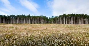 Aspen Tree Stock Photos